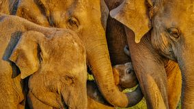 Éléphants heureux Photo libre de droits