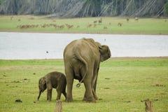 éléphants indiens Photo libre de droits