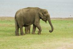 éléphants indiens Photographie stock