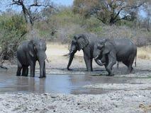 Éléphants jouant dans l'eau boueuse photos stock