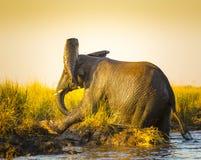 Éléphants jouant dans la boue image libre de droits
