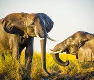 Éléphants jouant dans la boue photographie stock