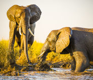 Éléphants jouant dans la boue images stock