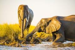 Éléphants jouant dans la boue image stock