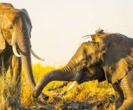 Éléphants jouant dans la boue images libres de droits