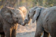 Éléphants jouant dans le Kruger photos libres de droits