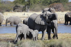 Éléphants jouant dans une boue Etosha Namibie photos stock