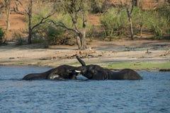 Éléphants jouant en rivière en parc national de Chobe dans Botswan Photographie stock libre de droits