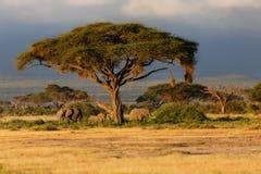 Éléphants juste avant la pluie Photos stock