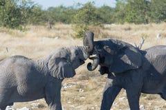 Éléphants juvéniles jouant avec des troncs enlacés photo stock