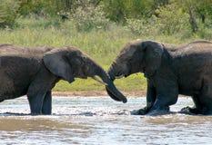 Éléphants luttant Photo libre de droits
