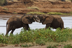 éléphants luttant Photographie stock libre de droits