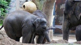 Éléphants - mère et deux éléphants de bébé Photographie stock libre de droits