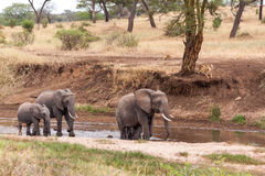 Éléphants marchant en rivière Photographie stock libre de droits