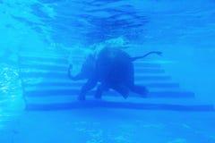 Éléphants nageant Photographie stock libre de droits
