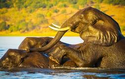 Éléphants nageant image stock