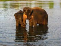 Éléphants nageant en rivière Image libre de droits