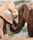 Éléphants nuzzling Photographie stock