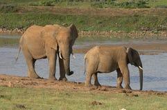 Éléphants par le ll d'eau-blocage Images stock