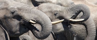 Éléphants potables Photos libres de droits