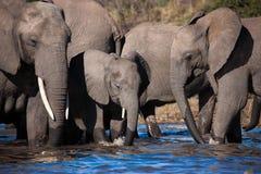 Éléphants potables en rivière de Chobe - Botswana Image stock
