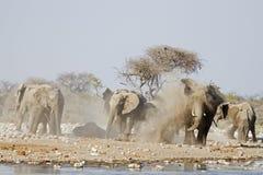Éléphants prenant un bain de la poussière Photos libres de droits