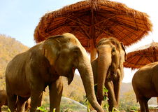Éléphants racontant des plaisanteries Photographie stock libre de droits