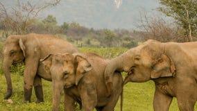 Éléphants sauvages Images libres de droits