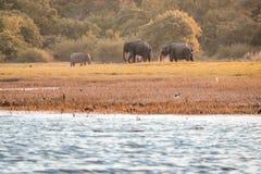 Éléphants sauvages Photographie stock
