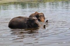 Éléphants sauvages Images stock