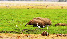 Éléphants sauvages africains Photos libres de droits