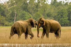 Éléphants sauvages dans l'amour Photos stock