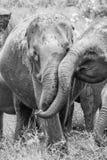 Éléphants sauvages heureux dans l'amour Photos stock