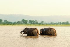 Éléphants se baignant dans le parc national de Chitwan, Népal image stock
