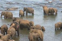 Éléphants se baignant en rivière Photos libres de droits