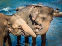 Éléphants se baignant en rivière Images stock