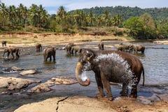 Éléphants se baignant en rivière Photographie stock