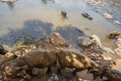 Éléphants se baignant en rivière Photographie stock libre de droits