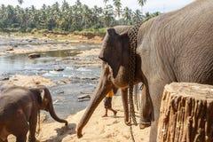 Éléphants se baignant en rivière Photos stock