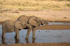 Éléphants se tenant dans l'eau au coucher du soleil image libre de droits