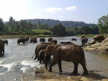 Éléphants sri-lankais Photographie stock