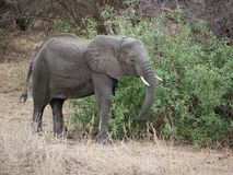 Éléphants sur des safaris de Tarangiri-Ngorongoro en Afrique photo stock
