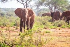 Éléphants sur la savane, Kenya Photographie stock libre de droits