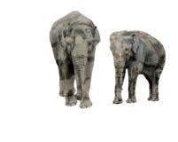 Éléphants sur le fond d'isolement Images libres de droits