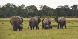 Éléphants sur une plaine herbeuse Photos stock