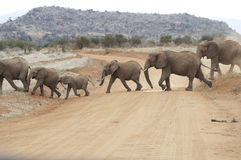 Éléphants traversant la route Photographie stock