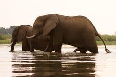 Éléphants traversant le fleuve Image stock