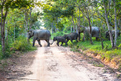 Éléphants un croisement la route Images libres de droits