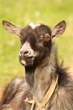 Él-cabra Fotografía de archivo libre de regalías