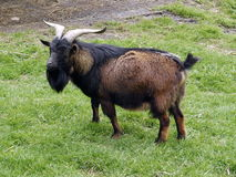 Él-cabra en prado Imagen de archivo